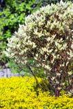 Branco alba do Cornus decorativo de Derain do arbusto Imagens de Stock