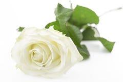Branco-amarelado aumentou Fotografia de Stock Royalty Free