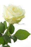 Branco-amarelado aumentou Fotografia de Stock