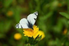 Branco batterfly Fotos de Stock Royalty Free