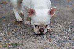 Branco bonito do buldogue francês do cão, close-up imagem de stock
