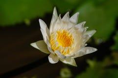 Branco bonito waterlily na luz solar Imagens de Stock Royalty Free