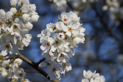 Branco Bradford Pear Blossoms da neve fotografia de stock royalty free