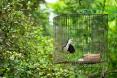 Branco-breasted waterhen na gaiola, selva do pássaro Foto de Stock Royalty Free