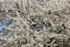 Branco Cherry Colorful Of Spring da flor Foto de Stock