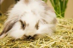 Branco com coelho longo do cabelo imagem de stock royalty free