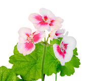 Branco com o Pelargonium dos pontos cor-de-rosa, flores dos gerânio, fim acima, fundo branco Foto de Stock