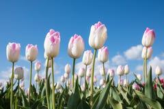 Branco com tulipas cor-de-rosa em um campo com céu azul acima Fotos de Stock