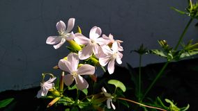 Branco cor-de-rosa da flora da flor mini imagens de stock