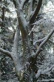 Branco da árvore da neve Fotos de Stock Royalty Free