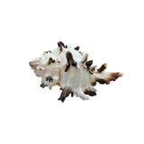 Branco da concha do mar com as bordas pretas, isoladas sobre Imagens de Stock Royalty Free