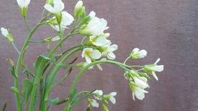 Branco da cor da flor do albroglabra do Brassica imagem de stock royalty free
