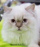 Branco da cor do gato persa Fotos de Stock