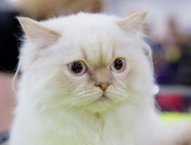 Branco da cor do gato persa Foto de Stock