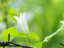 Branco da flor Imagem de Stock
