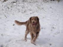 Branco da neve de Weimaraner no inverno na caminhada Foto de Stock