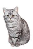 Branco de cabelos curtos britânico do gato, isolado Imagens de Stock Royalty Free