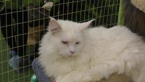 Branco de Kitten Maine Coon vídeos de arquivo