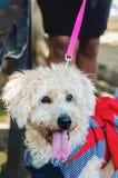 Branco de passeio vestido da cadela caniche bonito no parque imagens de stock royalty free