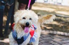 Branco de passeio vestido da cadela caniche bonito no parque foto de stock royalty free