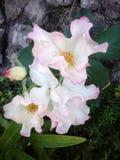 Branco de Rosa Imagens de Stock