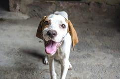 Branco de sorriso do focinho com o ponteiro de quatro meses castanho-aloirado do cachorrinho Fotos de Stock