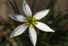 Branco de Zephyranthes em um fundo escuro Imagem de Stock