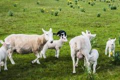 Branco degli agnelli della primavera Fotografia Stock Libera da Diritti