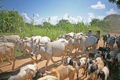 Branco degli animali da allevamento Fotografie Stock Libere da Diritti