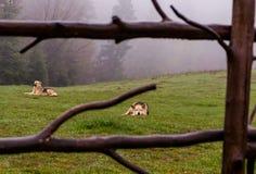 Branco dei cani Fotografie Stock