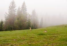 Branco dei cani Fotografia Stock Libera da Diritti