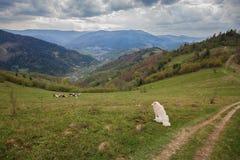 Branco dei cani in un pascolo nelle montagne Immagine Stock