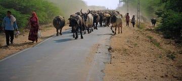 Branco del bestiame verso la fine del pomeriggio Immagini Stock