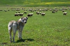 Branco del cane che custodice grande moltitudine di pecore Immagine Stock Libera da Diritti