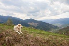 Branco del cane in un pascolo nelle montagne Fotografia Stock