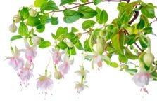 Branco delicado bonito de florescência com o fúcsia cor-de-rosa, isolado Fotografia de Stock