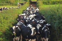 Branco delle mucche dal campo al granaio fotografia stock libera da diritti