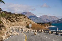 Branco delle pecore sulla strada Immagini Stock Libere da Diritti