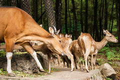 Branco di cervi di Brown con la daina della madre che prende cura dei suoi bambini piccoli che stanno insieme sulla roccia Immagine Stock Libera da Diritti