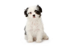 Branco do filhote de cachorro com marcações pretas imagem de stock royalty free