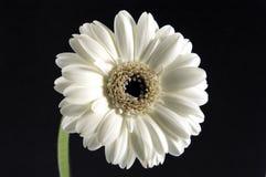 Branco do Gerbera imagens de stock royalty free