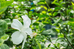 Branco do hibiscus Foto de Stock Royalty Free