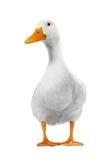 Branco do pato Imagem de Stock Royalty Free