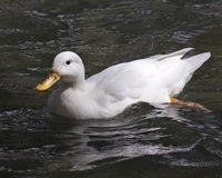 Branco do pato Fotografia de Stock Royalty Free