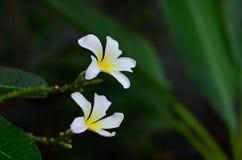 Branco do Plumeria Imagem de Stock