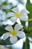 Branco do Plumeria Imagem de Stock Royalty Free