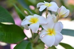 Branco do Plumeria Foto de Stock Royalty Free