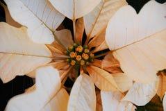 Branco do Poinsettia Fotos de Stock Royalty Free