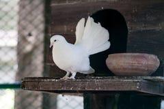 Branco do pombo fotos de stock