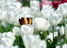 Branco do Tulip fotografia de stock